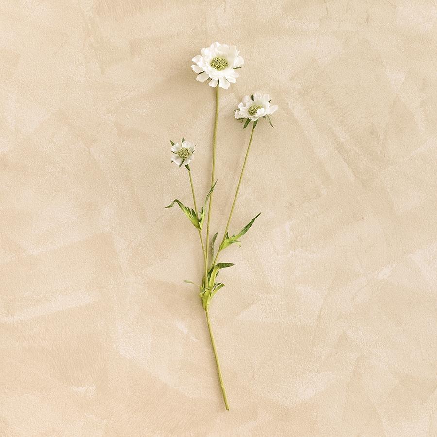 Scabiosa h63 branco