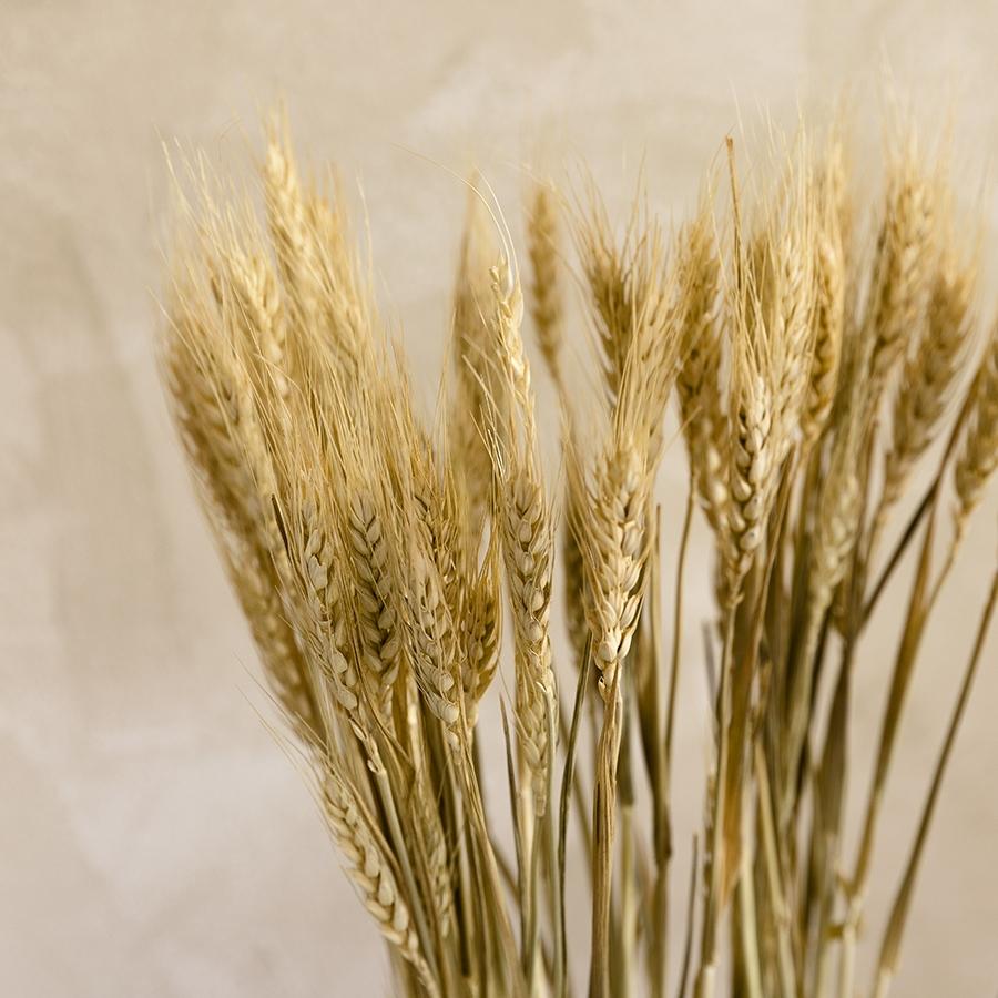 Trigo flor seca